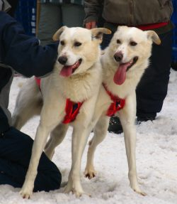 Sled dogs at Quebec Carnival
