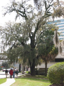Spanish Moss covers trees in Tallahassee, FL