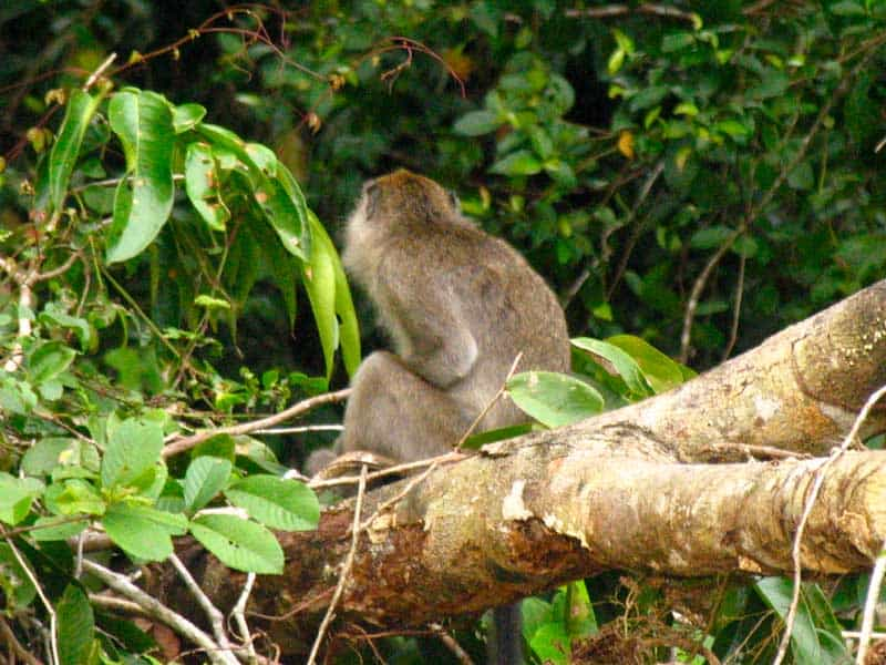 Monkey in the jungle near the river.