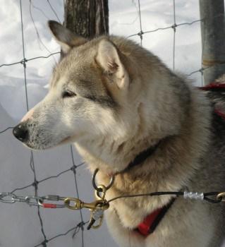 Sled dog at Aventure Inukshuk in Duchesney, Quebec.
