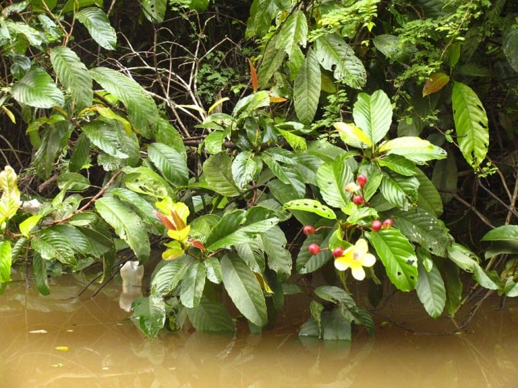 Flowering plants along the shore of the Menanggul River, a small tributary of the Kinabatangan River in Borneo.