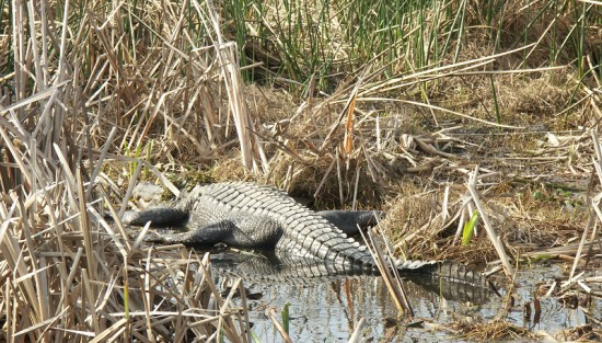 Aligator Alley at Sabine National Wildlife Refuge