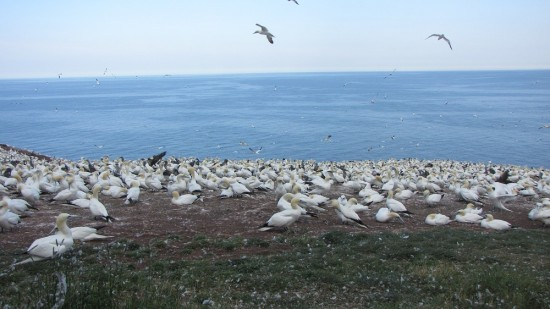 Northern Gannets on Bonaventure Island.