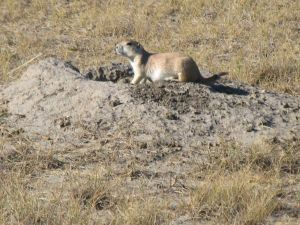 Prairie dog in Grasslands National Park.