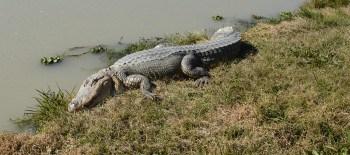 Alligator at Greenwood Gator Farm