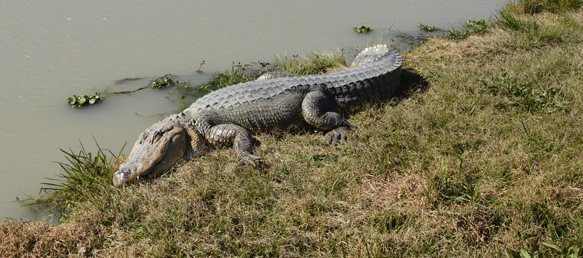 Louisiana Alligators: In the Wild, at the Farm, and on the Table