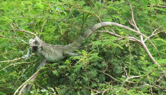 Iguana along roadside.