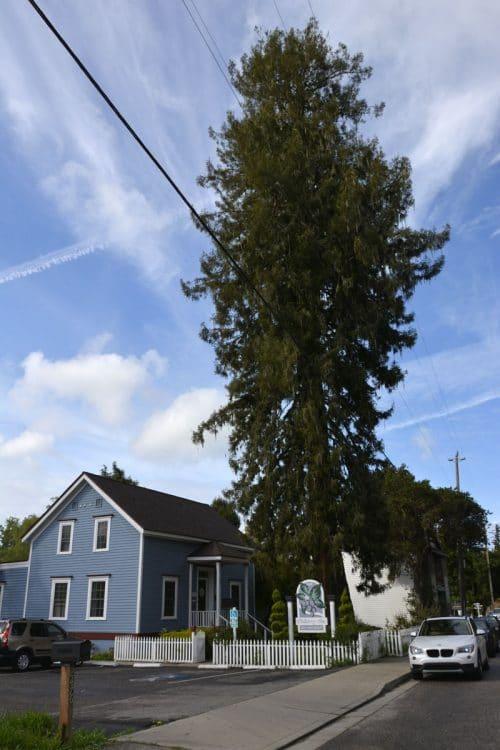 Redwood Sequoia