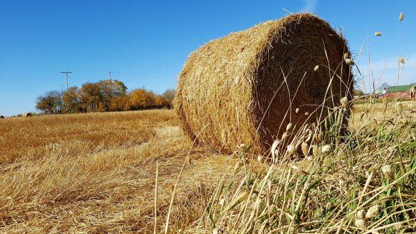 Saskatchewan field across the road from Linda Aksomitis's home in Saskatchewan.