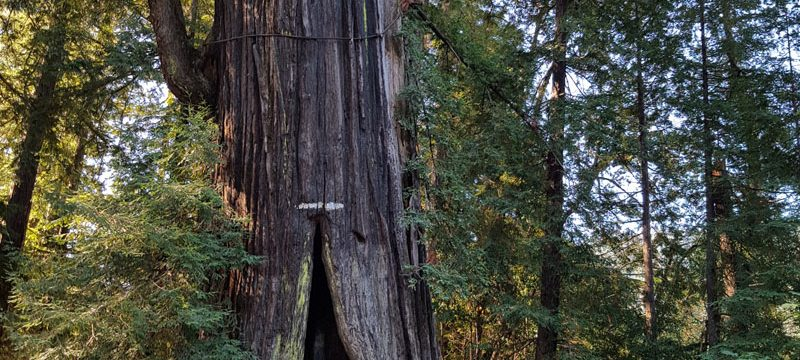Avenue of the Giants — Sounds of Silence in the Redwood Forest
