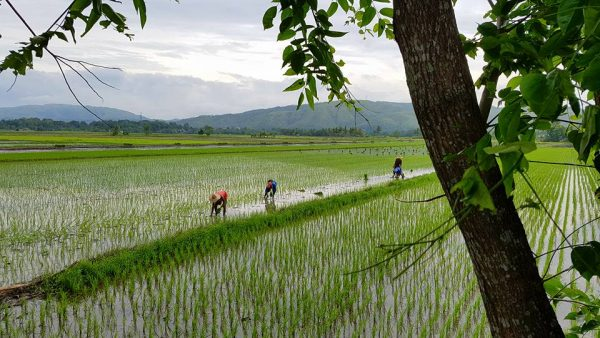 Rice paddies near Manila, Philippines.
