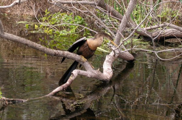 Bird in the swamp at Wakulla Springs State Park