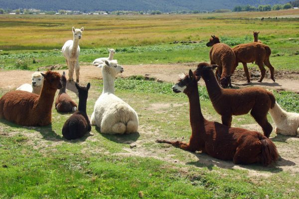 Alpacas at the Victory Ranch