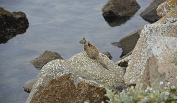 Squirrel on the rocks along the shore at Morro Bay, California.