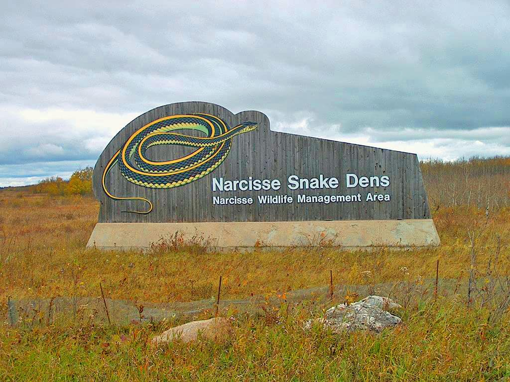Interested in Snakes? See Tens of Thousands in Manitoba's Narcisse Snake Dens