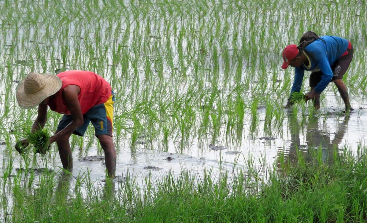 Planting rice in lowlands near Manila.