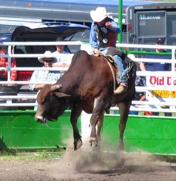 Bull riding at the Pilot Butte Rodeo.