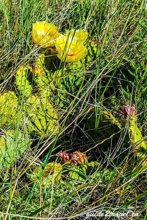 Yellow cactus blooming in June in Nebraska.