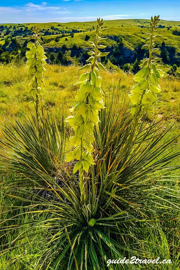 Yucca flowers on Windlass Hill in Nebraska.