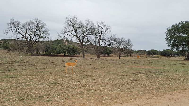 Wildlife grazing on Ox Ranch outside Ulvade, Texas.