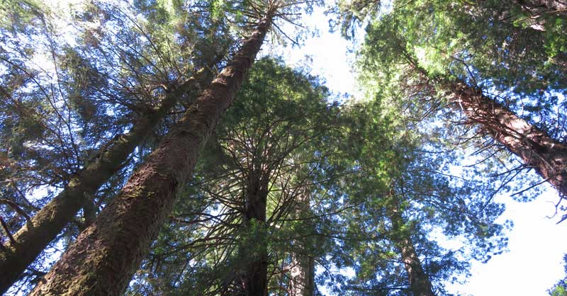 Many amazing species of trees in the Central California portion of the Pacific Crest Trail. #travel #forests
