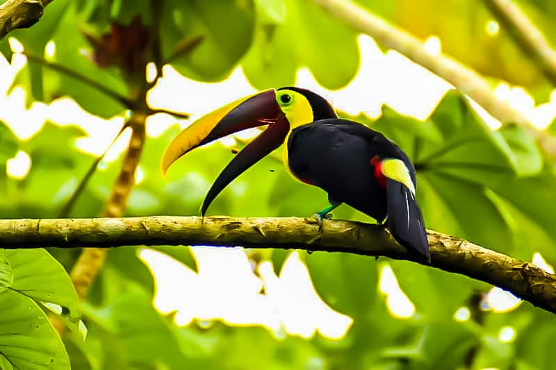 Brown-black toucan - photo taken in Costa Rica by Nature Freak. From Pixabay - used under a Creative commons license.