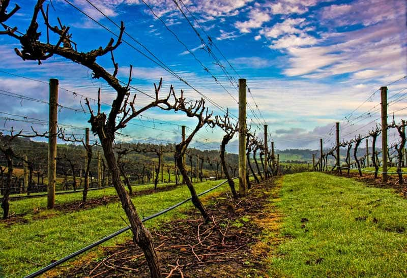 Grape vines in Tamar Valley in Tasmania, Australia.