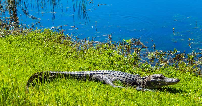 Alligator in the wild on the Creole Nature Trail in Louisiana.