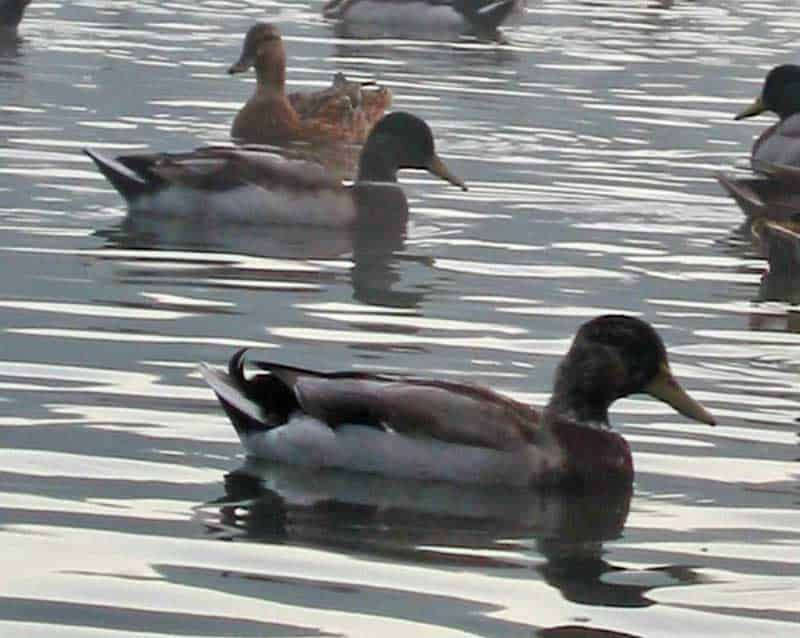 Ducks on the water beside the houseboat in Kentucky.