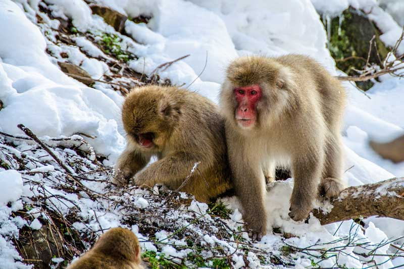 Famous snow monkeys found in Japan.