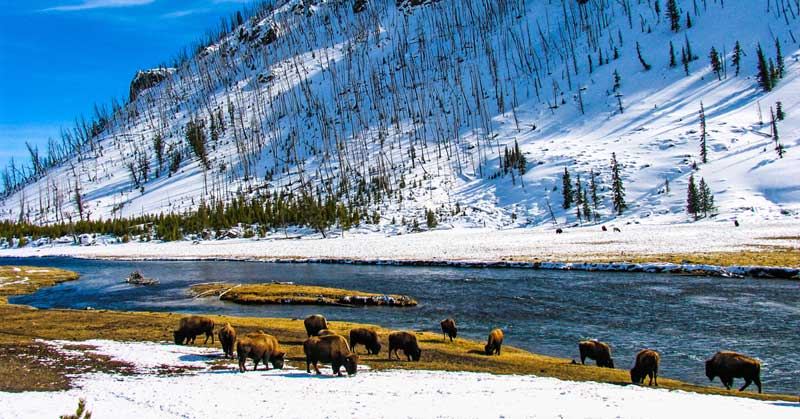 Bison grazing at Whisky Flats in Yellowstone National Park in the winter.