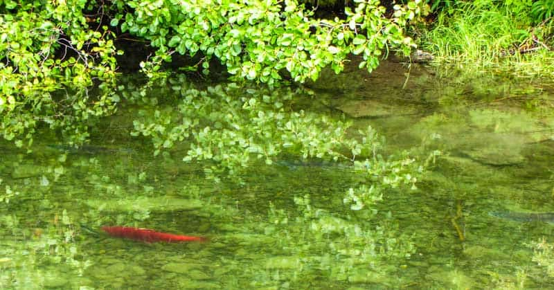 Rare Kokanee salmon live in the Kathleen Lake system.
