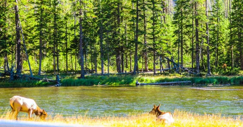 Wildlife in Yellowstone National Park.