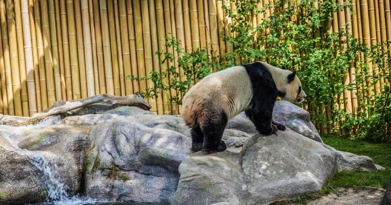 Panda enclosure at the Toronto Zoo.