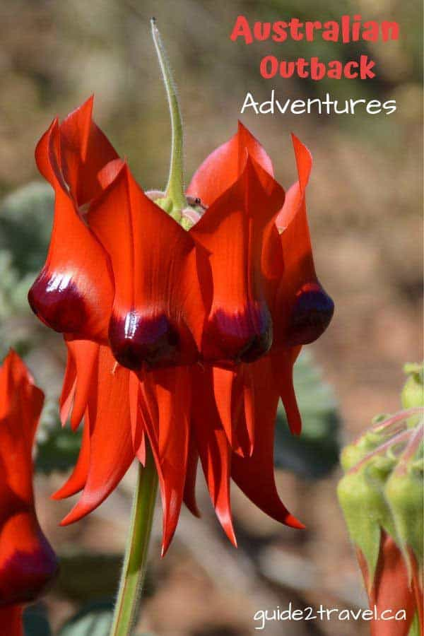 Discover 8 Great Adventures in Australia's Outback and beautiful scenery like this Sturts Desert Pea flower.