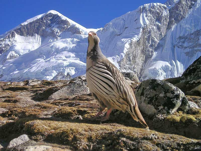 Bird with a backdrop of the Himilayan mountains