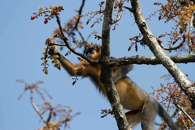 Capped Langur in a tree in the natural UNESCO site in Indian - Manas Wildlife Sanctuary.