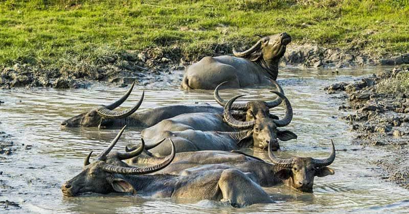 Buffalo in the natural UNESCO site in India Kaziranga National Park.