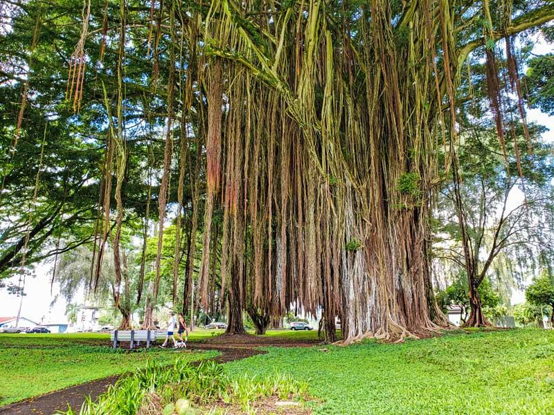Banyan tree in Liliuokalani Park and Gardens