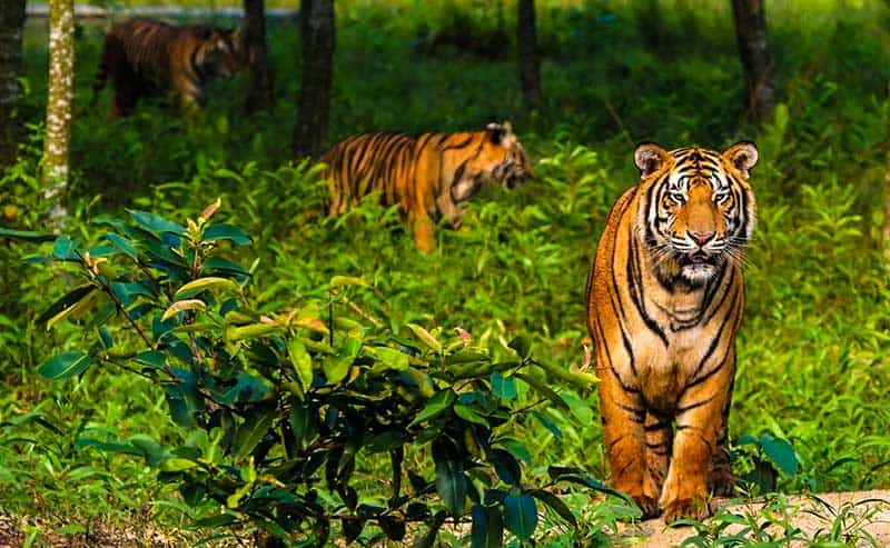 Tigers in the mangrove forests in India.
