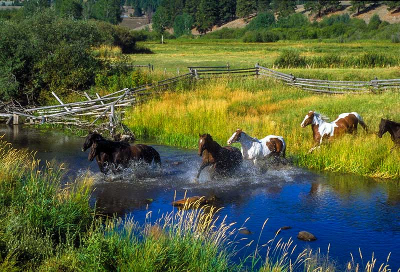 Horses crossing a stream on a ranch in Montana.