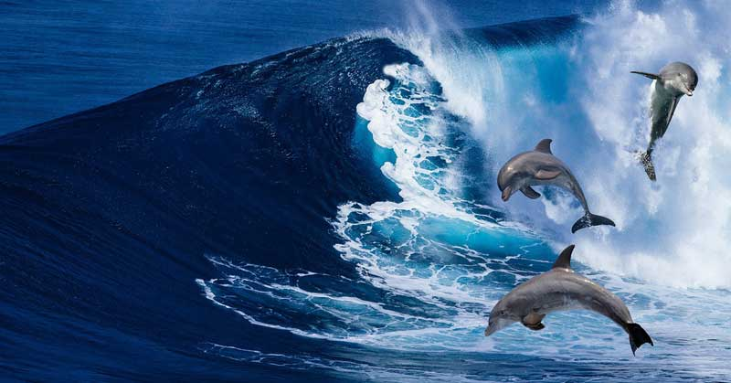 Dolphins jumping in waves.